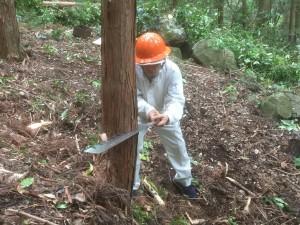 特殊な鋸で木を伐ります