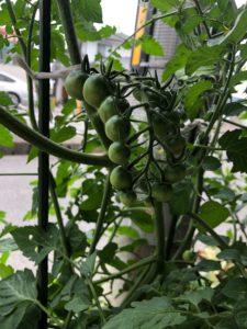ミニトマト たくさん