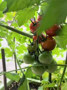 ミニトマト 工場